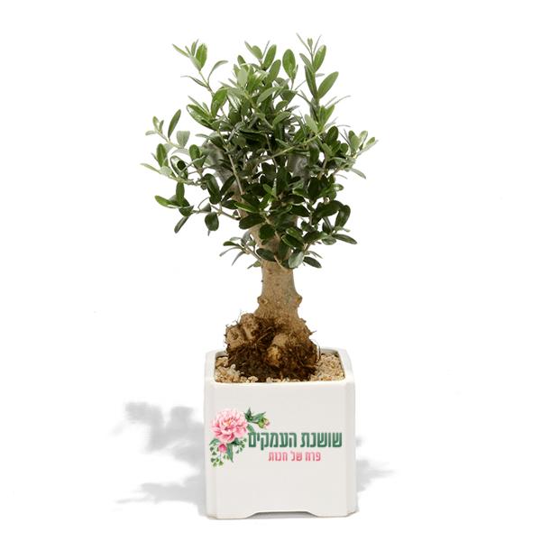 זית בונוסאי-עץ השלום